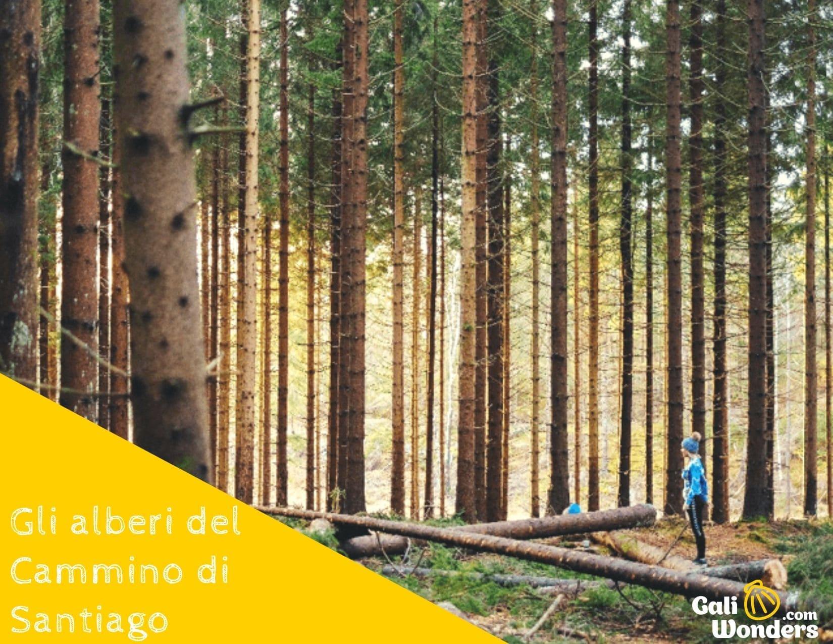 gli alberi del cammino di santiago galiwonders